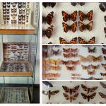 Gablota z wyłożonymi przeszklonymi pudełkami, w których znajdują sie zakonserwowane motyle i ćmy