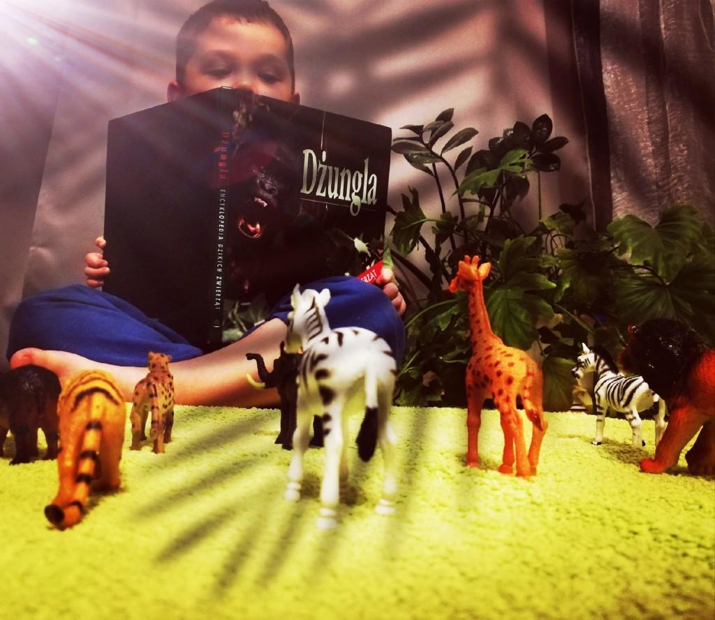 """Chłopiec czyta książkę pt. """"Dżungla"""", przed nim na stole stoją figurki dzikich zwierząt"""
